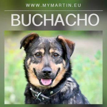 Buchacho