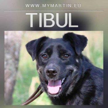Tibul