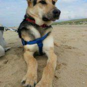 Lyov (Puppy)