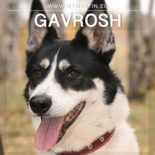 Gavrosh